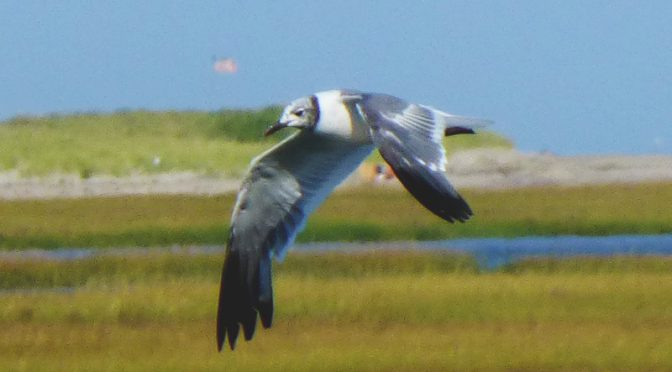 Laughing Gull Molting On Cape Cod