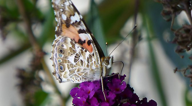 Pretty Painted Lady Butterfly At The Wellfleet Bay Wildlife Sanctuary On Cape Cod