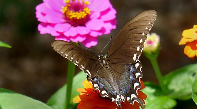 Pretty Black Spicebush Swallowtail Butterfly In My Yard On Cape Cod