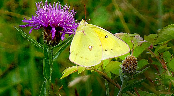Clouded Sulfur Butterfly At Fort Hill On Cape Cod