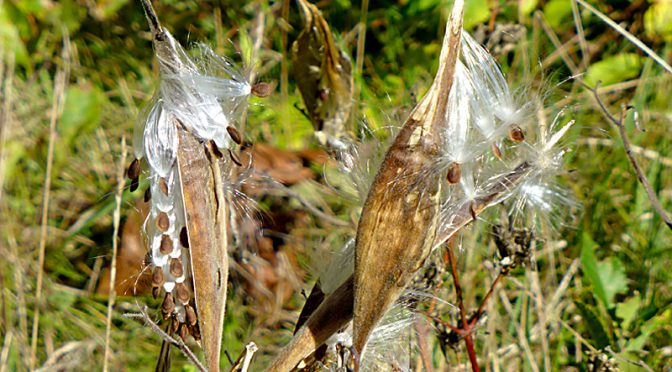 Milkweed Wildflower Seeds Are Ready To Disperse In The Wind On Cape Cod