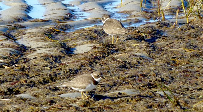 Semi-Palmated Plovers On The Flats On Cape Cod
