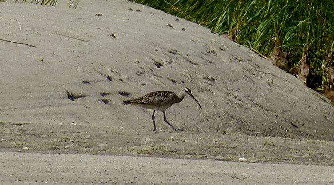 Beautiful Whimbrel At The Wellfleet Bay Wildlife Sanctuary