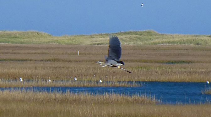 Great Blue Heron Flying Over Nauset Marsh On Cape Cod