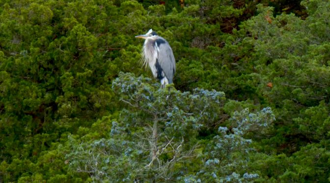 Great Blue Heron High In A Tree At Nauset Marsh On Cape Cod