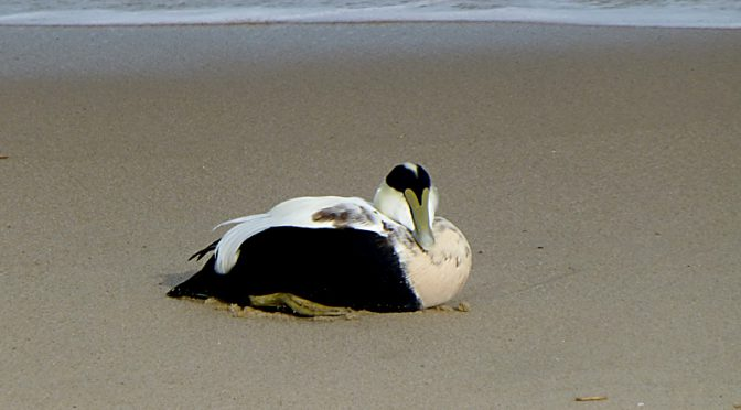 Common Eider On Coast Guard Beach On Cape Cod
