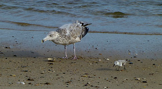 The Seagull And The Little Sanderling At Coast Guard Beach On Cape Cod