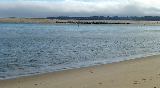 Hundreds Of Seals At Nauset Spit On Cape Cod