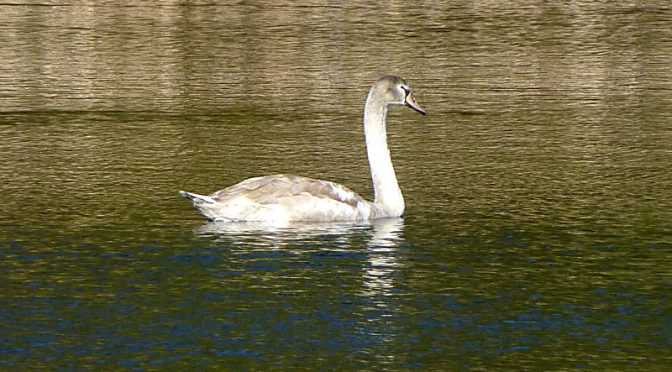Juvenile Swan In Orleans On Cape Cod
