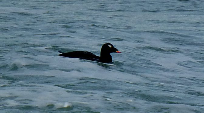 White-Winged Scoter At Coast Guard Beach On Cape Cod