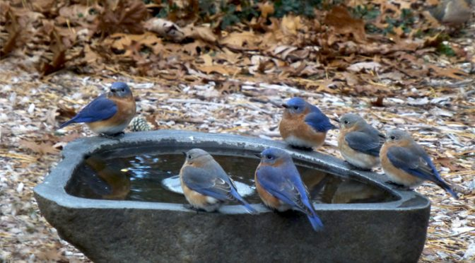 Lots Of Bluebirds At Our Birdbath On Cape Cod