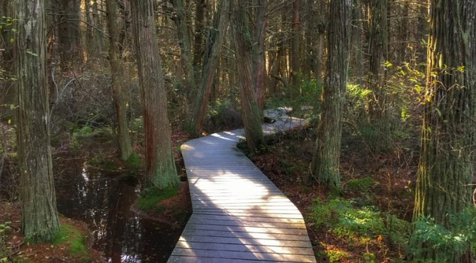 Atlantic White Cedar Swamp Trail In Wellfleet On Cape Cod