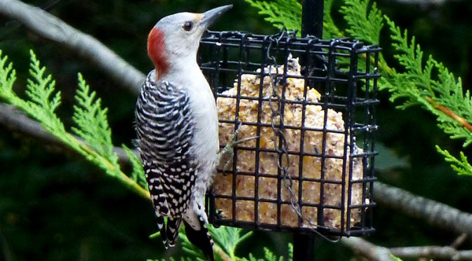 Red-Bellied Woodpecker Is Growing Up In Our Yard On Cape Cod