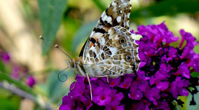 Beautiful Painted Lady Butterfly On Cape Cod