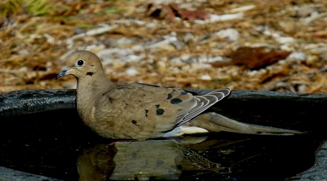 Mourning Dove Enjoying A Bath At Our Home On Cape Cod