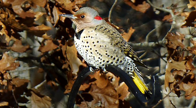 Seven Northern Flickers In Our Yard On Cape Cod