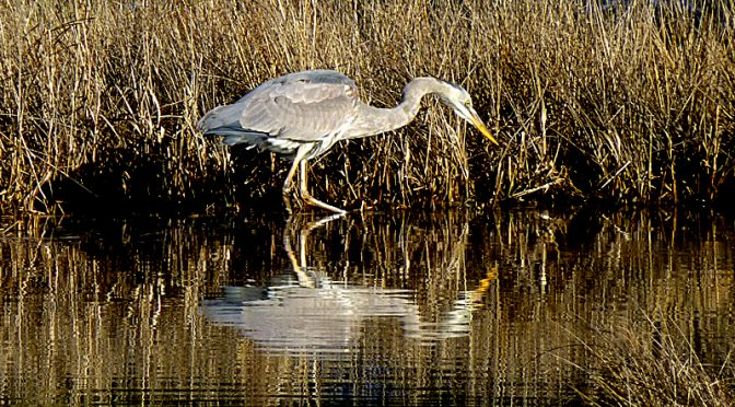 Great Blue Heron Fishing On The Salt Marsh Trail On Cape Cod