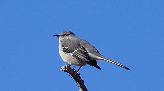 Beautiful Mockingbird At Fort Hill On Cape Cod