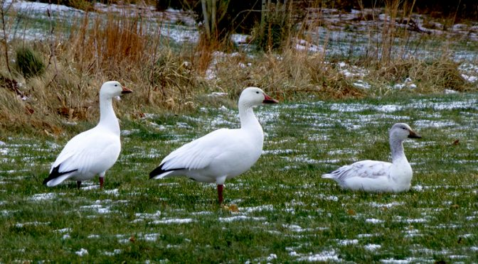 Rare Snow Geese On My Walk On Cape Cod