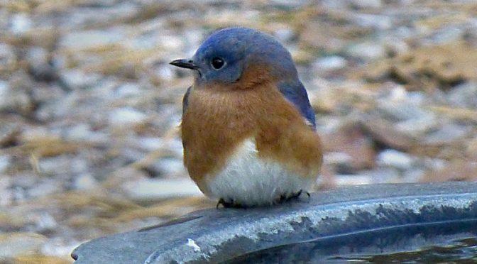 Cute Little Bluebird In Our Birdbath On Cape Cod