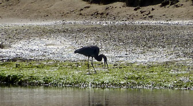 Great Blue Heron Feeding On The Mud Flats On Cape Cod