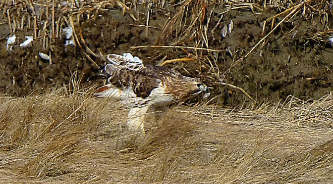 Red-Tailed Hawk Finding Prey At The Salt Marsh On Cape Cod