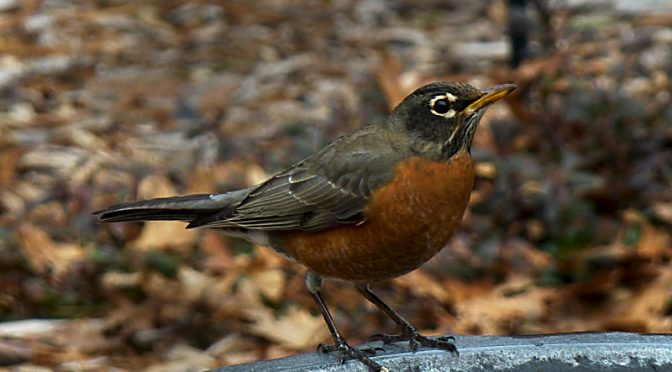 Love The Robins At Our Bird Bath On Cape Cod