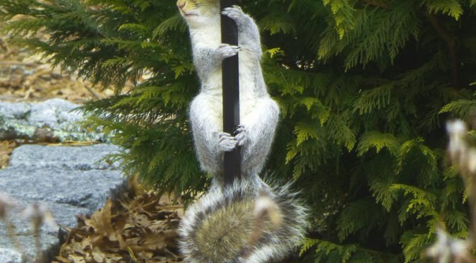 Persistent Squirrel At Our Bird Feeders On Cape Cod
