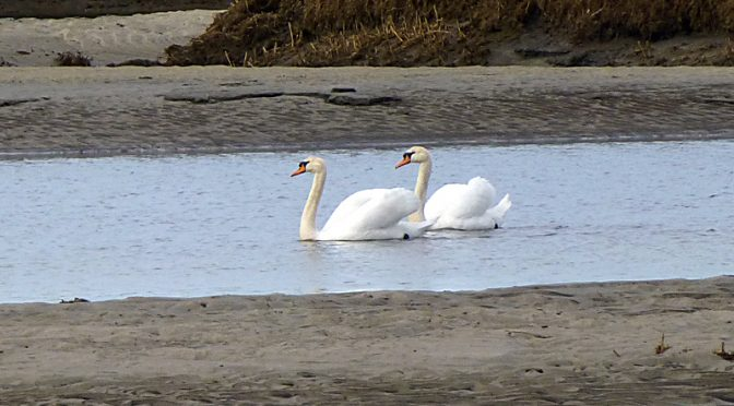 Family Of Swans At Boat Meadow On Cape Cod