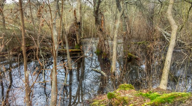 Swampy Red Maple Swamp Trail At Fort Hill On Cape Cod