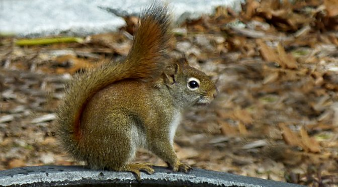 Red Squirrel In Our Yard On Cape Cod