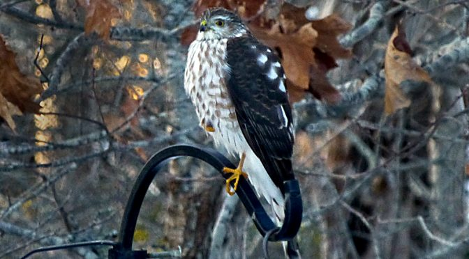 Juvenile Sharp-Shinned Hawk At Our Bird Feeder On Cape Cod