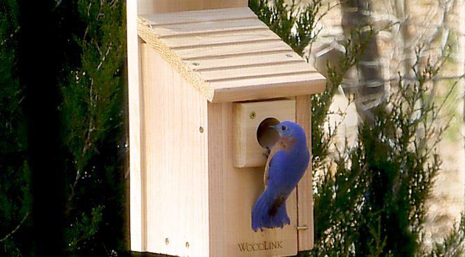 Bluebird Couple In Our New Birdhouse On Cape Cod