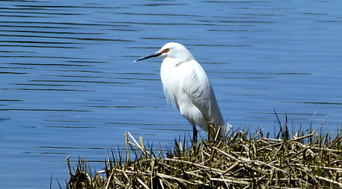 White Egret Fishing At The Salt Pond In Eastham On Cape Cod
