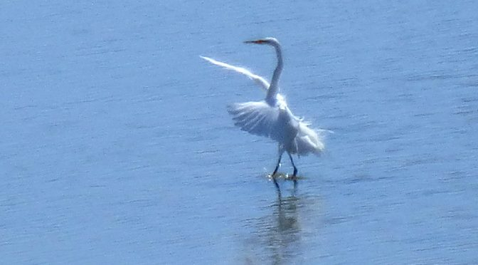 Dancing White Egret At Nauset Marsh By Coast Guard Beach On Cape Cod