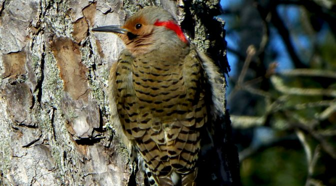 Northern Flicker In Our Yard On Cape Cod.