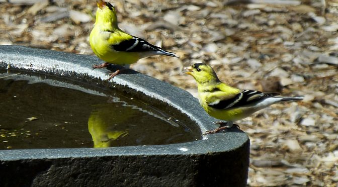 The Goldfinches Are Turning Vibrant Yellow On Cape Cod