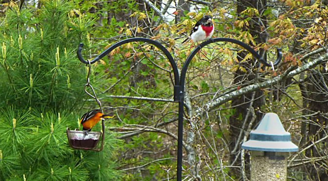 Lots Of Birding In Our Backyard On Cape Cod