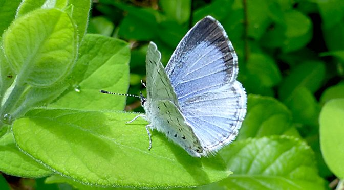 Pretty Eastern Tailed Blue Butterfly At Fort Hill On Cape Cod
