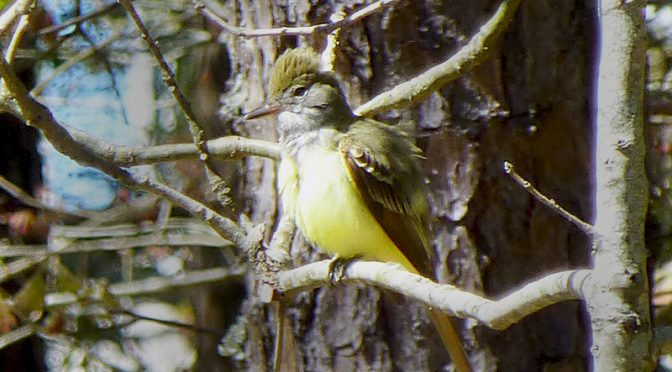 Great Crested Flycatcher  In Our Backyard On Cape Cod