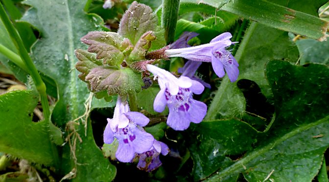 Pretty Purple Ground Ivy Along The Trails At Fort Hill On Cape Cod