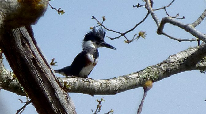Belted Kingfisher At Goose Pond At The Wellfleet Bay Wildlife Sanctuary On Cape Cod