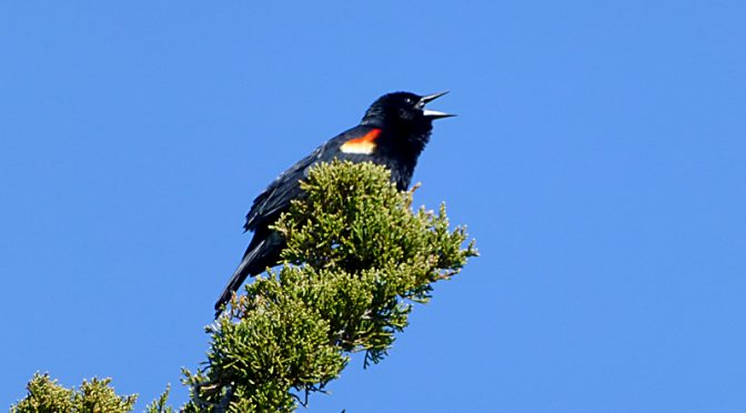 Red-Winged Blackbird At Fort Hill On Cape Cod
