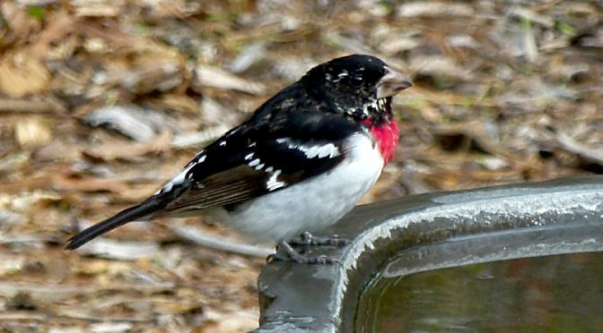 Stunning Rose-Breasted Grosbeak At Our Bird Bath On Cape Cod
