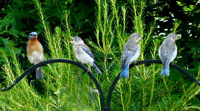 Mom Bluebird Feeding Her Three Babies In Our Yard On Cape Cod