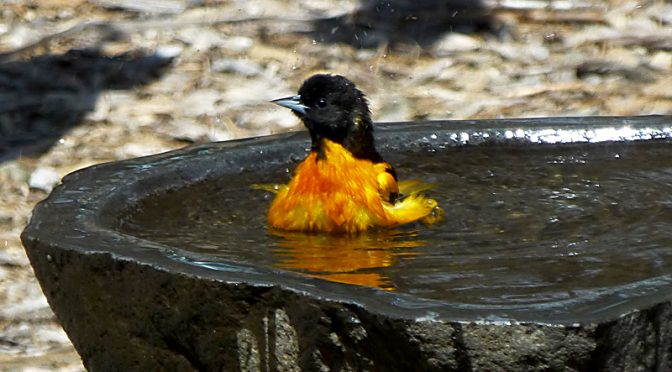 Baltimore Oriole Enjoying A Bath In Our Yard On Cape Cod