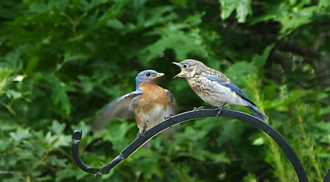 Another Bluebird Baby Photograph In Our Yard On Cape Cod