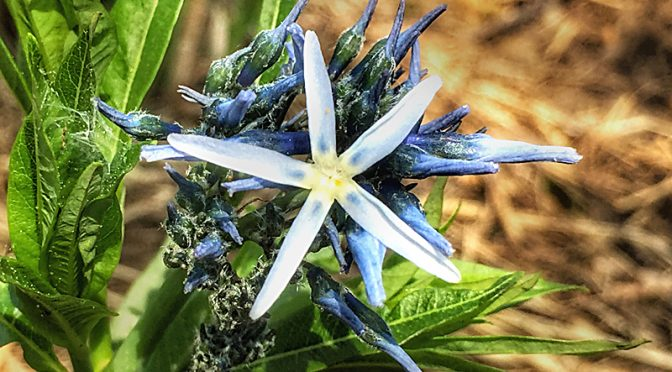 Pretty Blue Star Flower At The Wellfleet Bay Wildlife Sanctuary