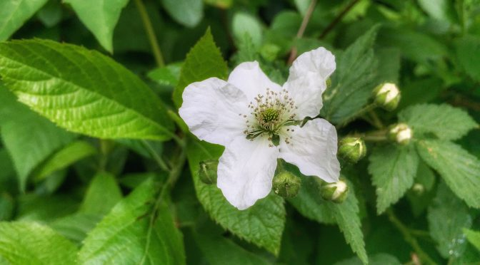 White Dewberry Wildflowers Are Blooming All Over Cape Cod