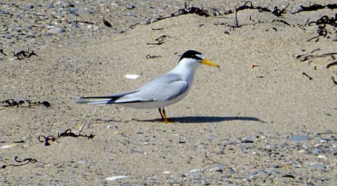 The Least Terns Are Nesting At Coast Guard Beach On Cape Cod